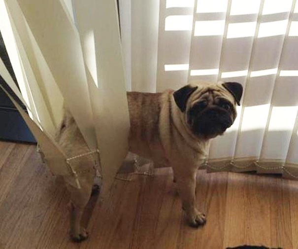 Dog stuck in the vertical blinds