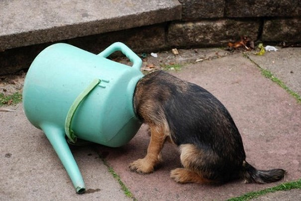 dog stuck in a watering pitcher