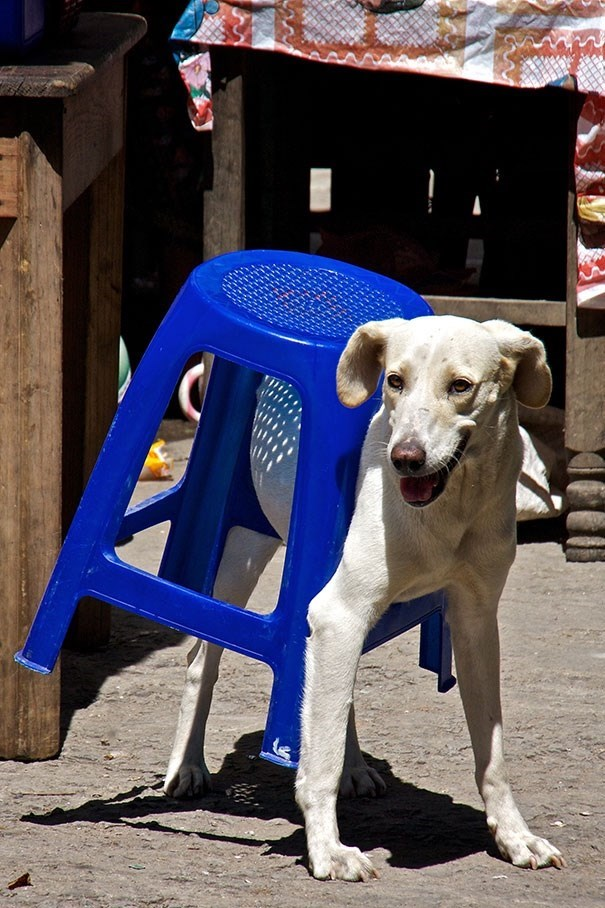 dog stuck in a plastic chair