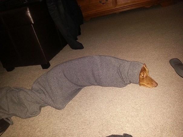 doog stuck in a pants leg