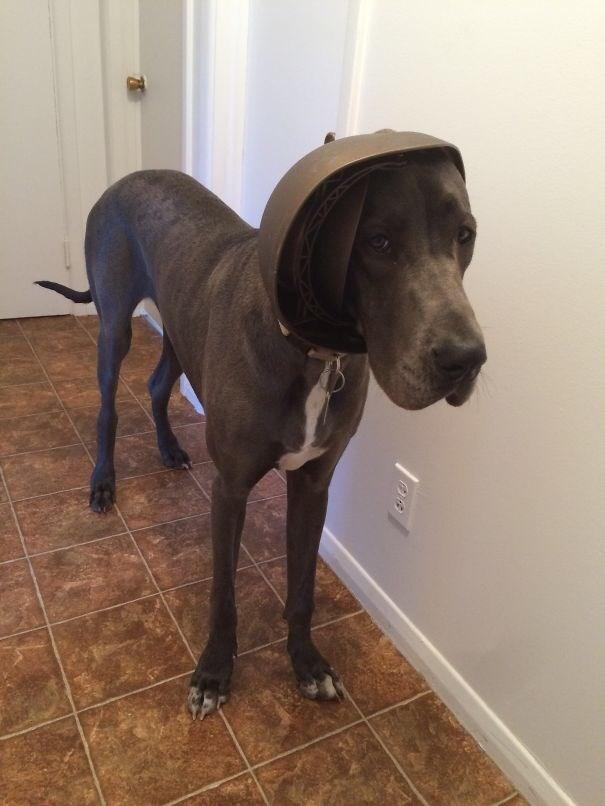 Dog stuck with helmet on his head