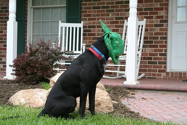 Funny picture of a black lab who got stuck in a watering can