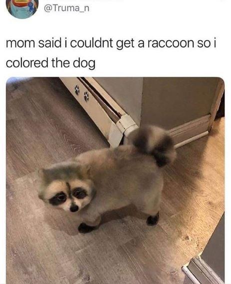 dog meme - Dog - @Truma_n mom said i couldnt get a raccoon so i colored the dog