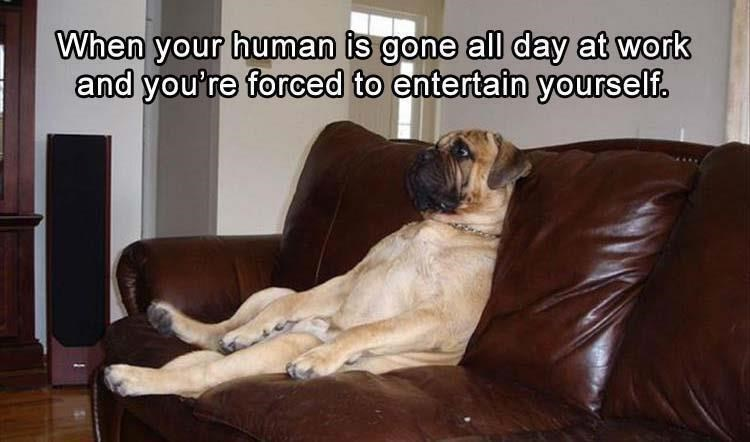 dog meme - Dog breed - When your human is gone all day at work and you're forced to entertain yourself.