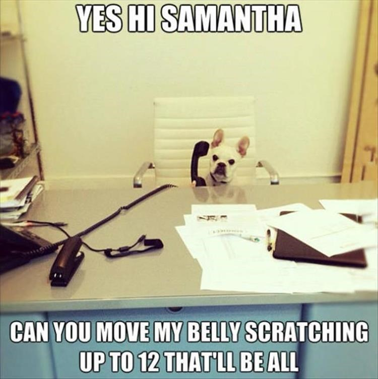 dog meme - Text - YES HI SAMANTHA CAN YOU MOVE MY BELLY SCRATCHING UP TO 12 THAT LL BEALL