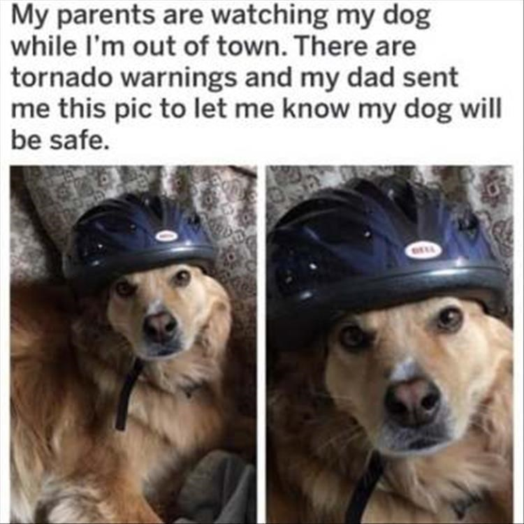 dog meme - Dog - My parents are watching my dog while I'm out of town. There are tornado warnings and my dad sent me this pic to let me know my dog will be safe.