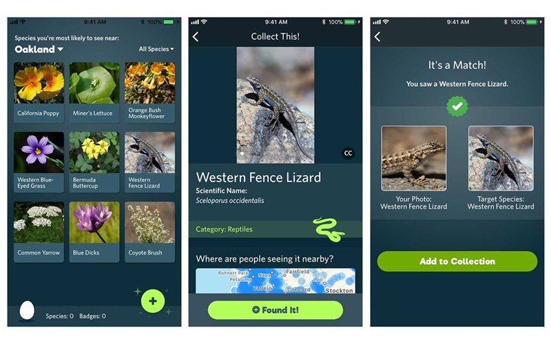 nature app - Screenshot - 9:41 AM *100 % % 100 % D+ 100% ll 9:41 AM 9:41 AM < < Collect This! Species you're most likely to see near: Oakland All Species It's a Match! You saw a Western Fence Lizard. Orange Bush Monkeyflower California Poppy Miner's Lettuce CC Western Fence Lizard Bermuda Buttercup Western Fence Lizard Western Blue- Eyed Grass Scientific Name: Target Species: Western Fence Lizard Your Photo: Western Fence Lizard Sceloporus occidentalis Category: Reptiles Common Yarrow Blue Dicks