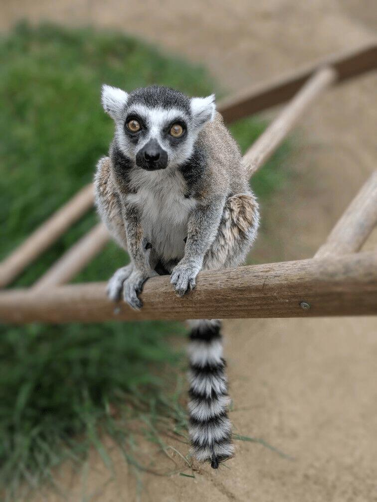lemur thief - Vertebrate
