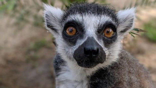 lemur thief - Mammal