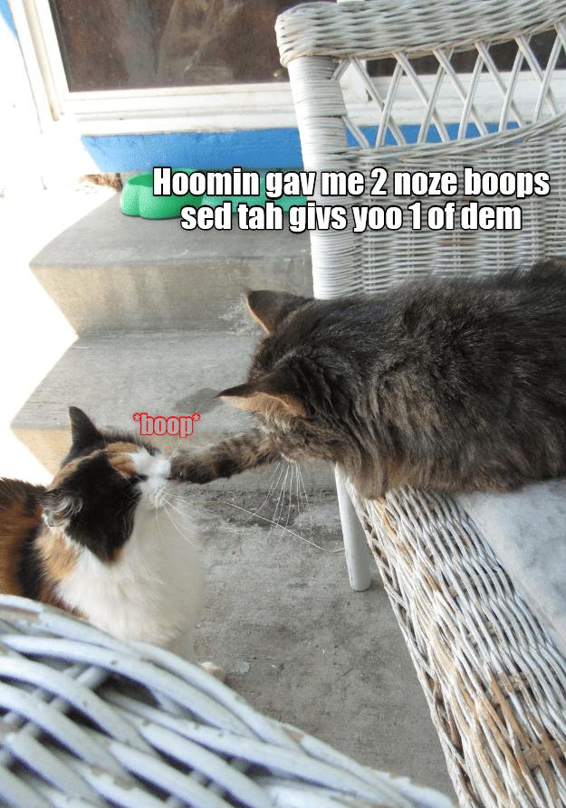 funny cat - Cat - Hoomin gav me 2 noze boops sed tah givs yo01 of dem boop