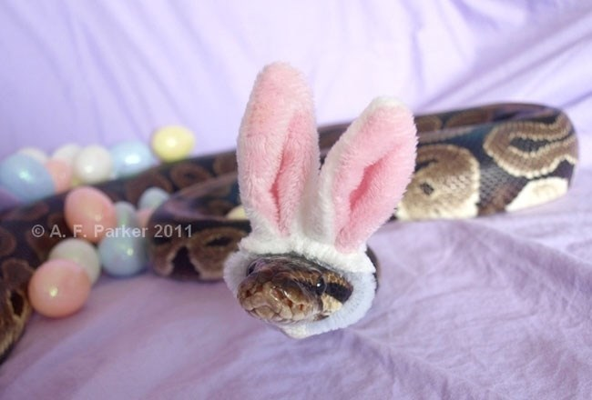 animals in hats - Python family - A. F. Parker 2011