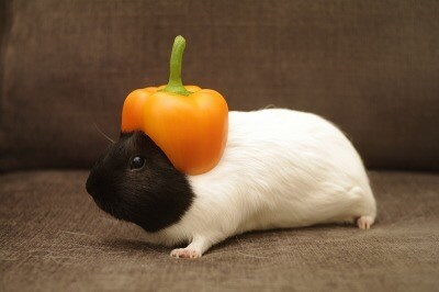animals in hats - Guinea pig