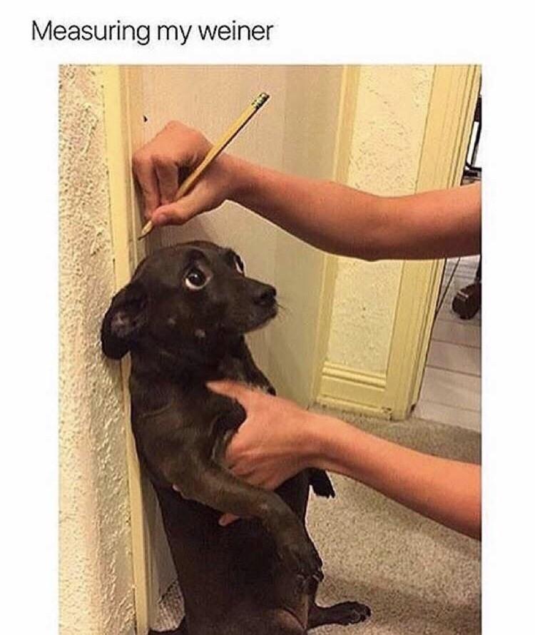meme - Dog - Measuring my weiner
