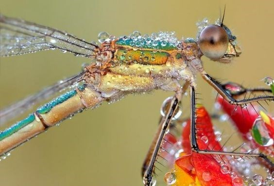 bugs - Dragonfly