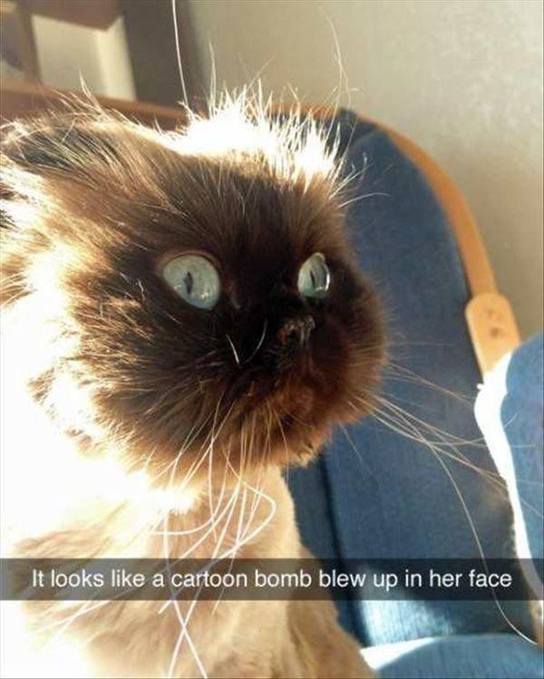cat meme - Cat - It looks like a cartoon bomb blew up in her face