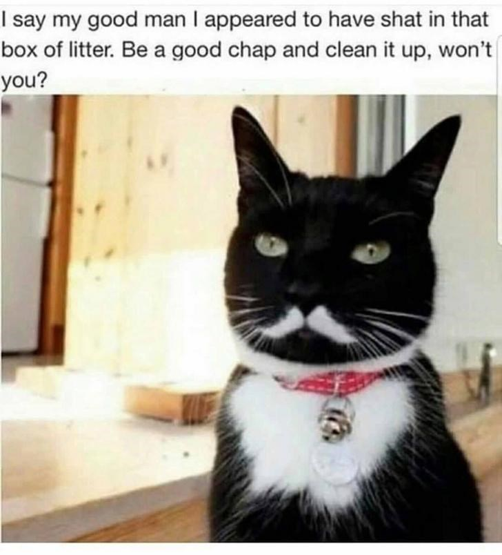 cat meme - Cat - I say my good man I appeared to have shat in that box of litter. Be a good chap and clean it up, won't| you?