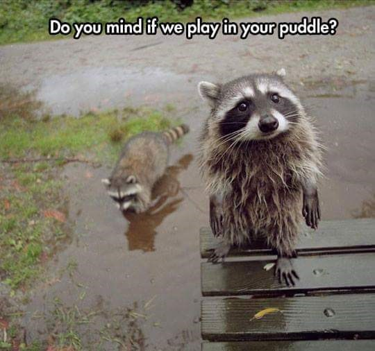 animal meme - Procyon - Doyou mind if we play in your puddle?