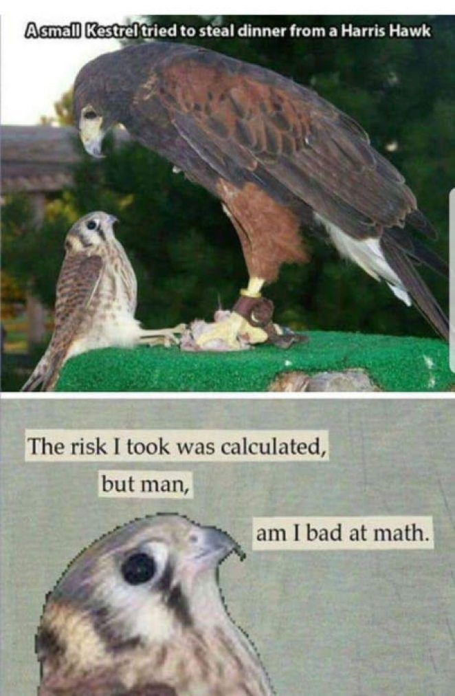 animal meme - Bird - Asmall Kestrel tried to steal dinner from a Harris Hawk The risk I took was calculated, but man, am I bad at math.