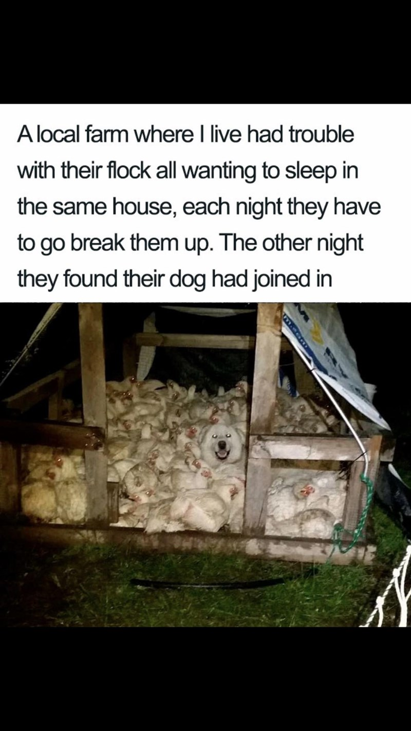 "Meme - ""A local farm where I live had trouble with their flock all wanting to sleep in the same house, each night they have to go break them up. The other night they found their dog had joined in"""