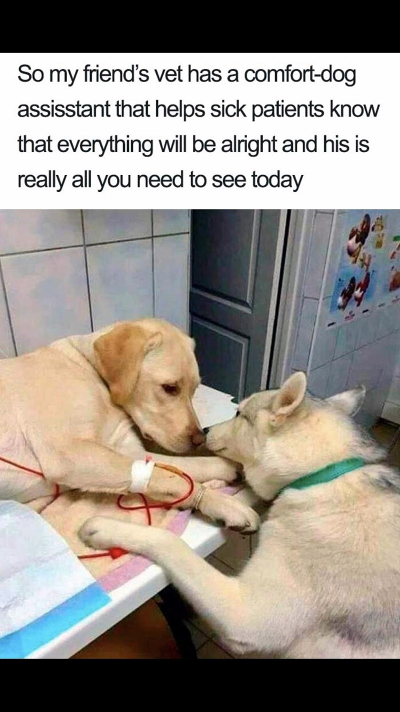 Meme - Dog breed - So my friend's vet has a comfort-dog assisstant that helps sick patients know that everything will be alright and his is really all you need to see today