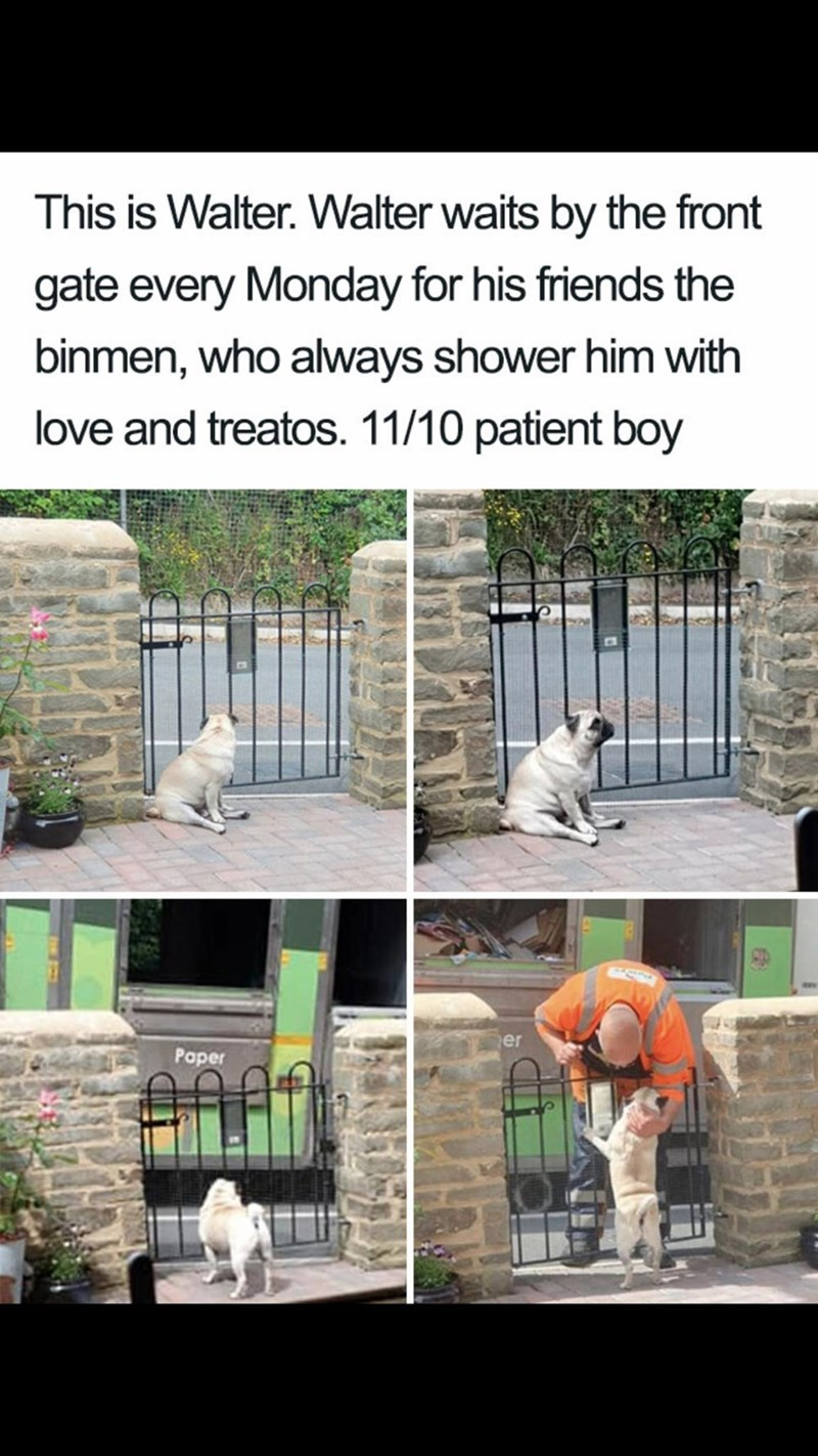 Meme - Adaptation - This is Walter. Walter waits by the front gate every Monday for his friends the binmen, who always shower him with love and treatos. 11/10 patient boy er Paper