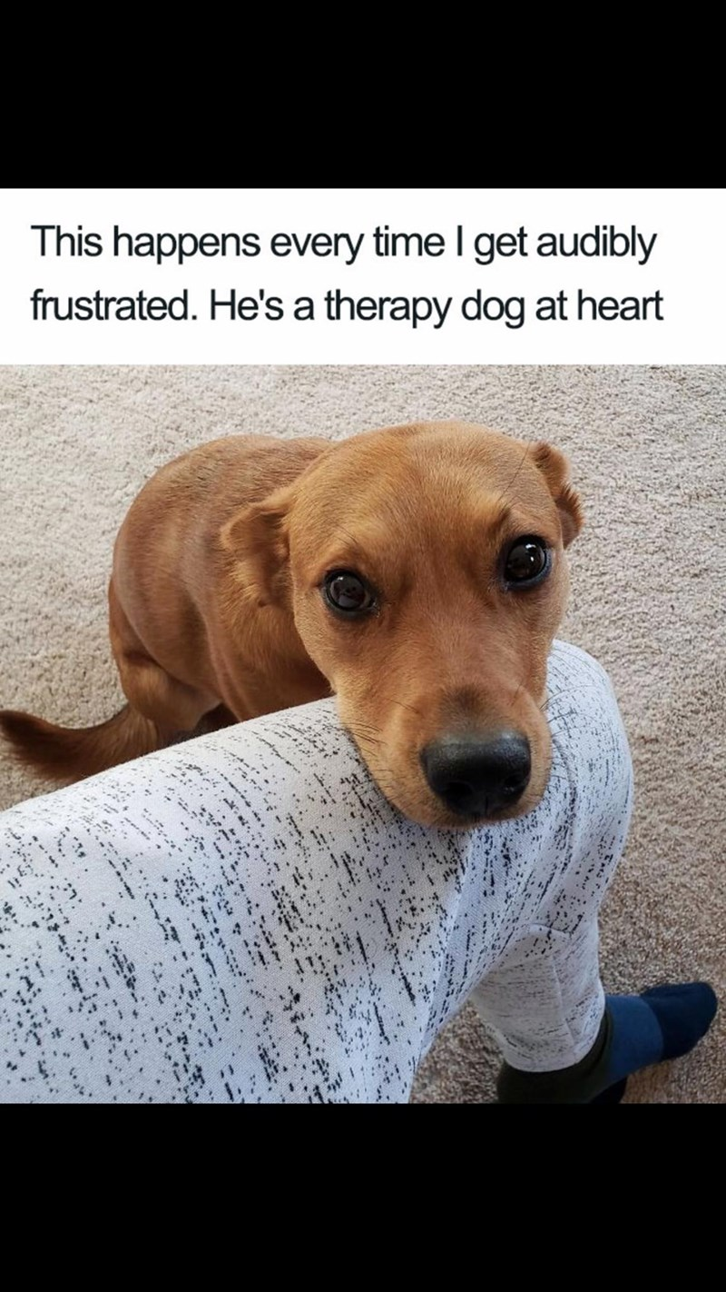 Meme - Dog - This happens every time I get audibly frustrated. He's a therapy dog at heart