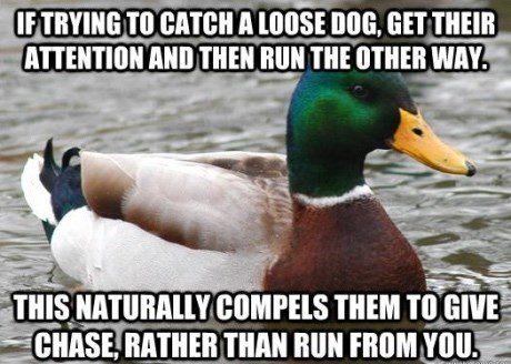advice mallard - Bird - IFTRYING TO CATCHALOOSEDOG, GETTHEIR ATTENTION AND THEN RUN THE OTHERWAY THIS NATURALLYCOMPELS THEM TOGIVE CHASE, RATHER THAN RUN FROM YOU.
