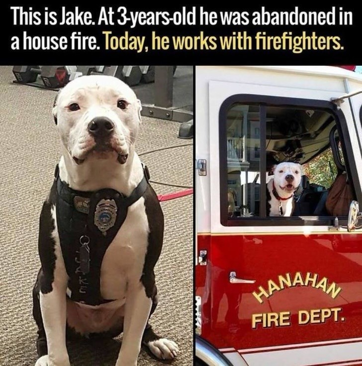Dog - This is Jake. At 3 years-old he was abandoned in a house fire. Today, he works with firefighters. HANAHAN FIRE DEPT.