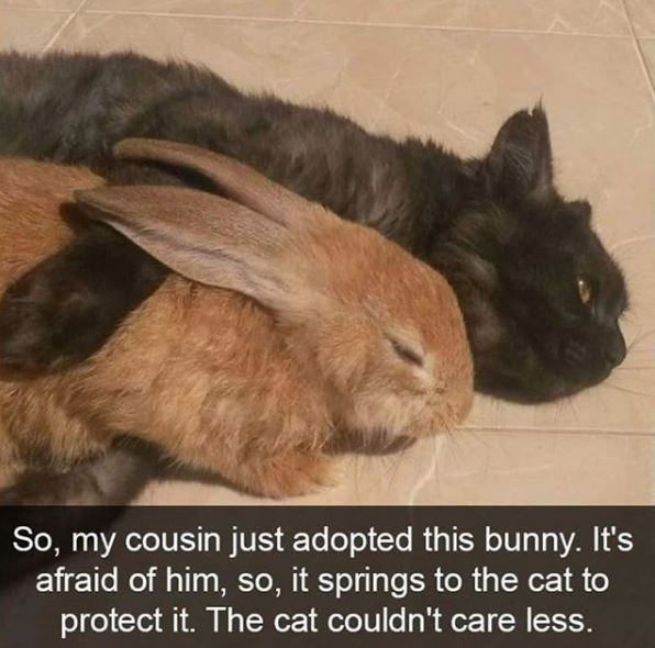 Rabbit - So, my cousin just adopted this bunny. It's afraid of him, so, it springs to the cat to protect it. The cat couldn't care less.