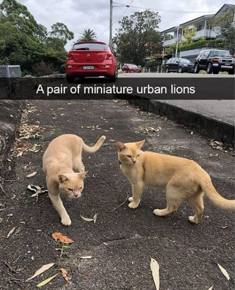 Mammal - Apair of miniature urban lions