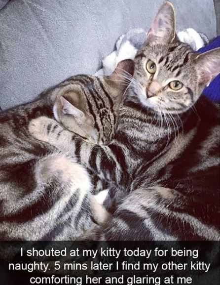 Cat - I shouted at my kitty today for being naughty. 5 mins later I find my other kitty comforting her and glaring at me