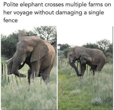 Elephant - Polite elephant crosses multiple farms on her voyage without damaging a single fence