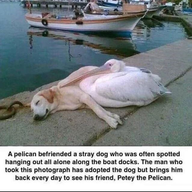 Pelican - A pelican befriended a stray dog who was often spotted hanging out all alone along the boat docks. The man who took this photograph has adopted the dog but brings him back every day to see his friend, Petey the Pelican