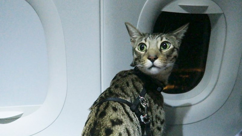 tabby cat wearing harness sitting inside plane next to airplane window travelling cats meme