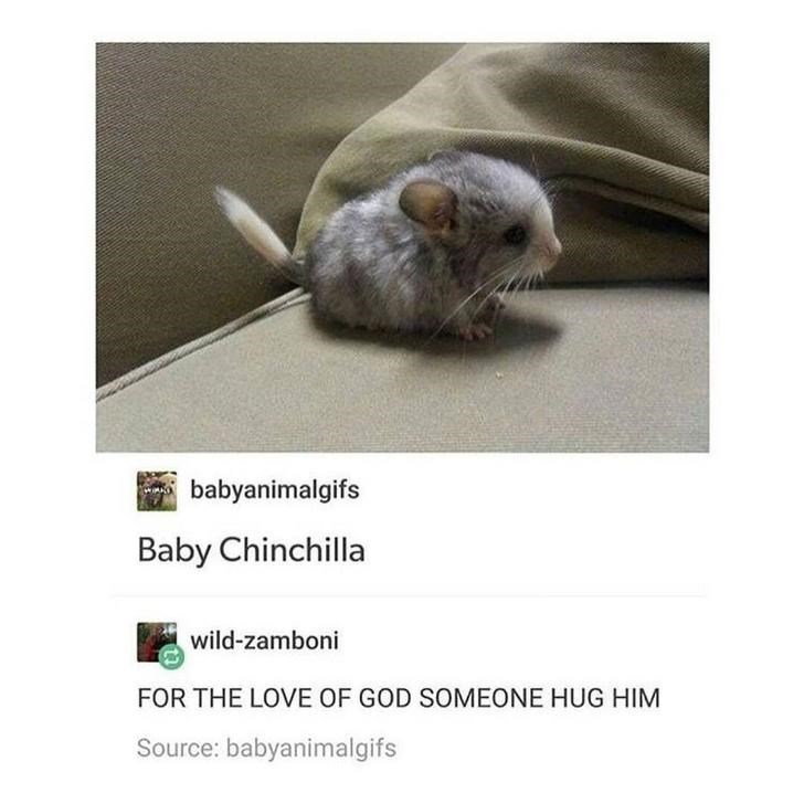 aww cute chinchilla - 9332571392