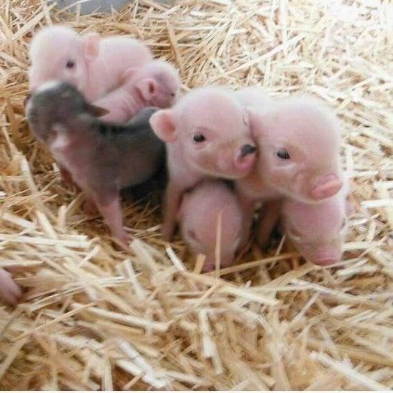 piglet - Domestic pig