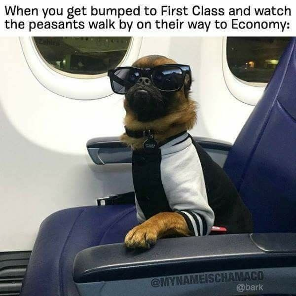 chihuahua sitting in airplane seat wearing sunglasses and jumper when you get bumped to first class and watch the peasants walk by travelling dog meme