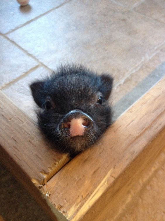 piglet - Snout
