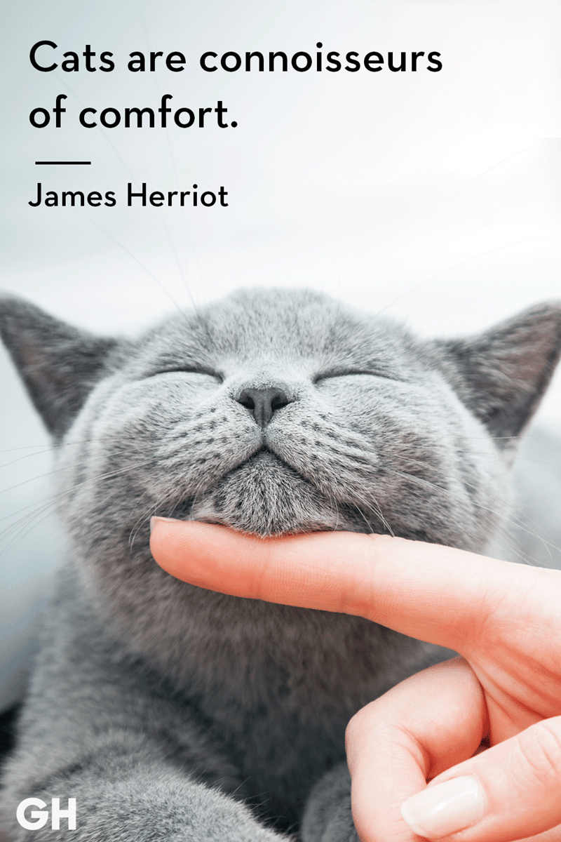Cat - Cats are connoisseurs of comfort. James Herriot GH
