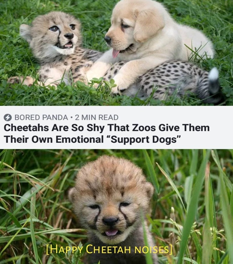 "Mammal - BORED PANDA 2 MIN READ Cheetahs Are So Shy That Zoos Give Them Their Own Emotional ""Support Dogs"" THAPPY CHEETAH NOISES]"