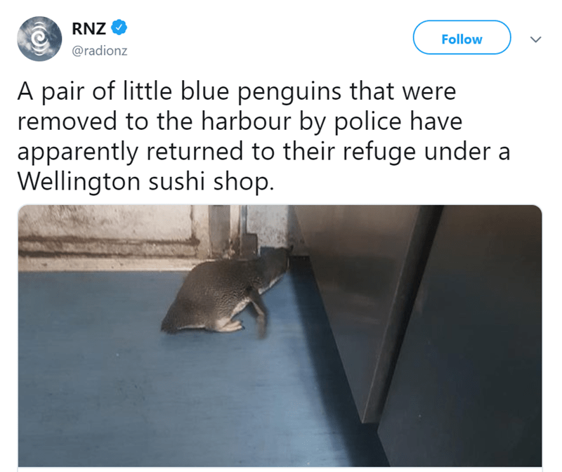 penguins in sushi shop - Text - RNZ Follow @radionz A pair of little blue penguins that were removed to the harbour by police have apparently returned to their refuge under a Wellington sushi shop.