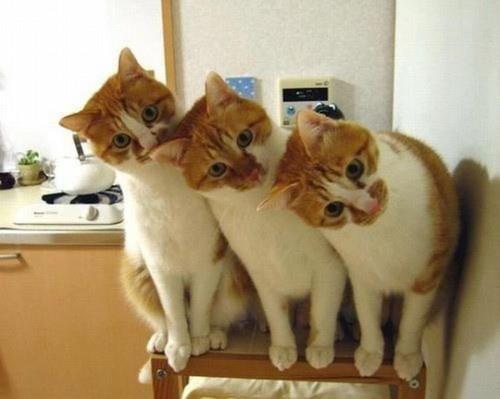 [Изображение: copycats-cat]