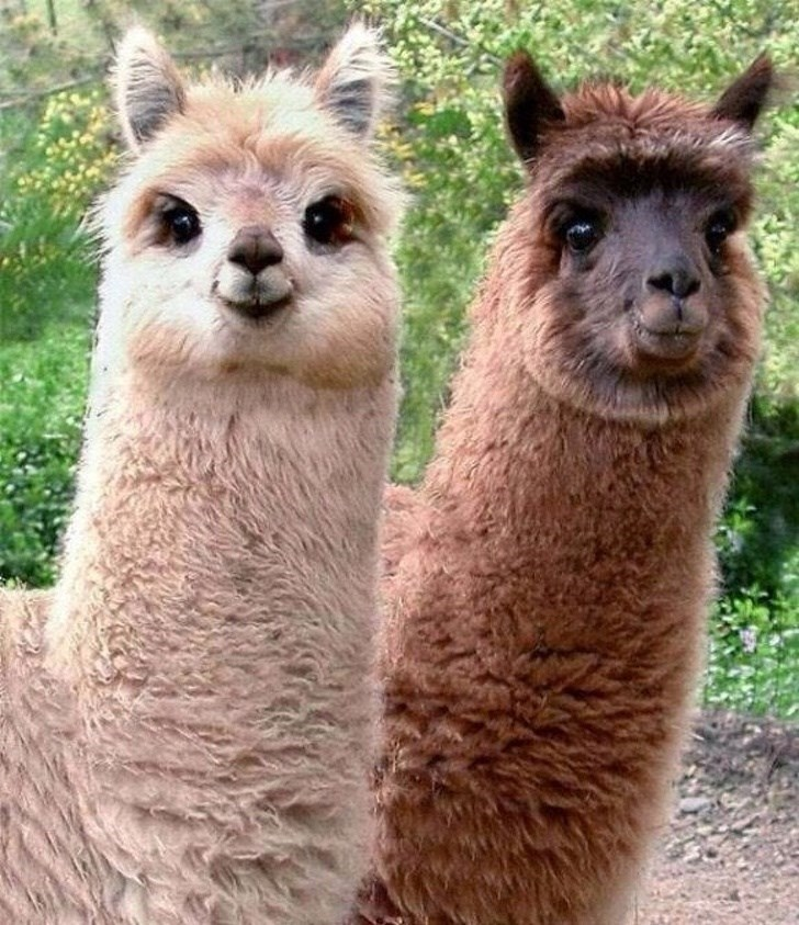 animal fact - Llama
