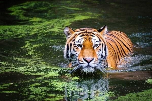 animal fact - Tiger