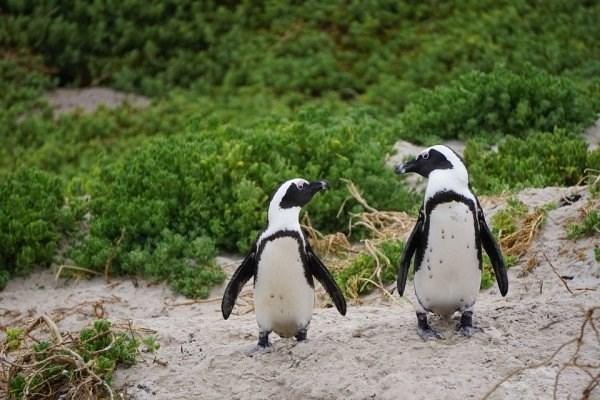 animal fact - Penguin