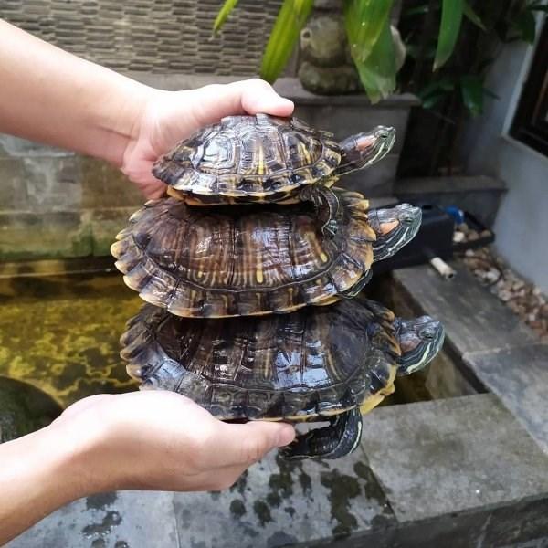 animal fact - Turtle