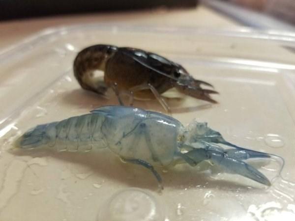 animal fact - Crayfish