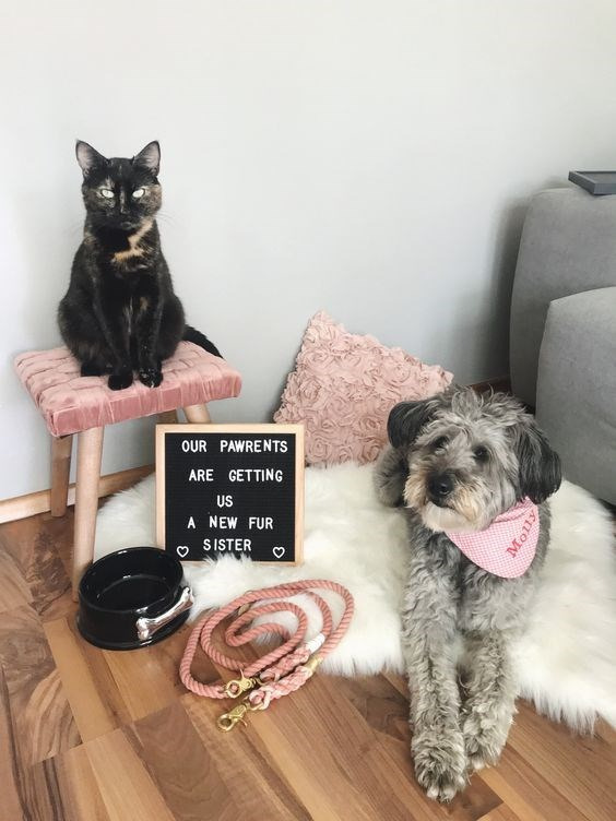 Pregnancy announcement - Dog - OUR PAWRENTS ARE GETTING US A NEW FUR S ISTER Molly