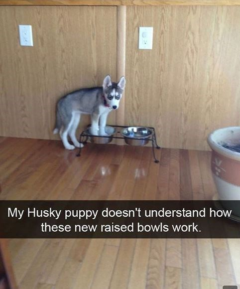 Cat - My Husky puppy doesn't understand how these new raised bowls work.