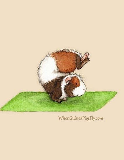 guinea pig yoga - Guinea pig - WhenGuineaPigsFly.com